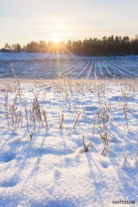 wheat field covered in snow